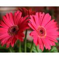 Birthday Flowers to Pakistan